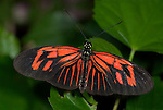 Heliconius melpomene, Postman Butterfly, wings open, red colours, South America.Central America....
