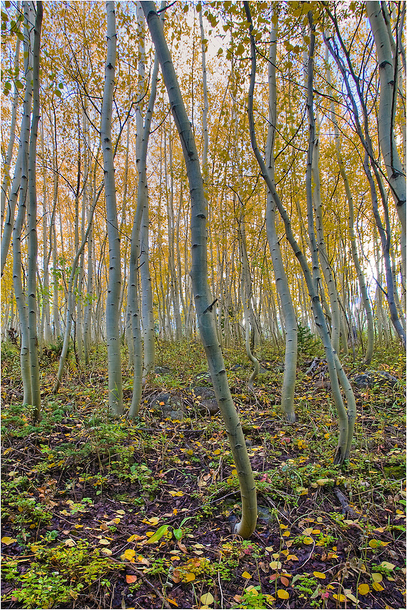 Golden aspen leaves make classic Colorado Images. In this Colorado picture, I found aspen trees just outside Fraser, Colorado, in the morning hours. I love walking in the woods at this time of day. Everything feels so crisp and clean.