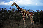 Africa, Kenya, Nanyuki. Reticualated Giraffe at Sweetwater Game Reserve.