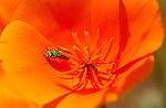 Sweat Bee on California Poppy, Metallic Green Bee, Southern California
