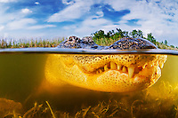 American Alligator Pictures