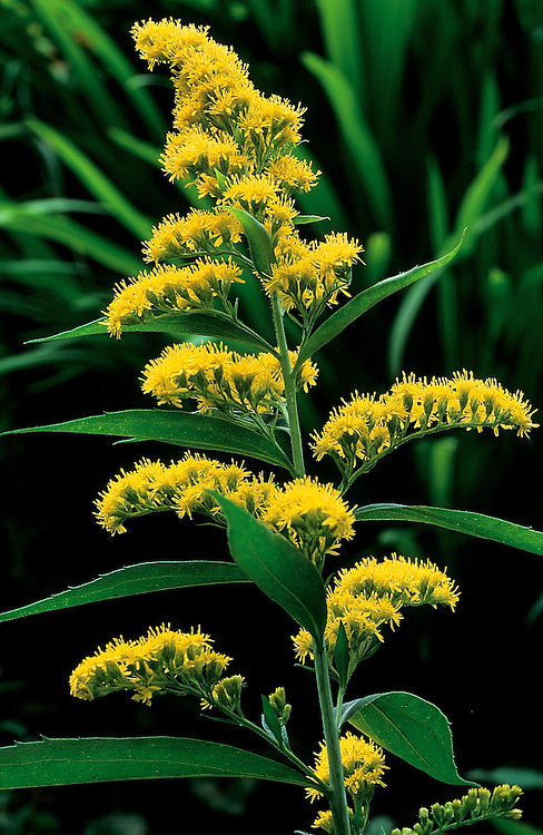 Layers of yellow flowers and leaves of Solidago 'Baby Gold', goldenrod, Creekside Gardens, Roberts Creek, BC