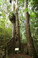 Kapok Tree along the Reef Bay Trail<br /> St John<br /> Virgin Islands National Park