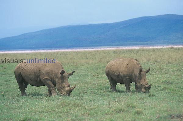 Pair of White Rhinoceros grazing on the savanna ,Ceratotherium simum, Lake Nakuru National Park, Kenya, Africa.