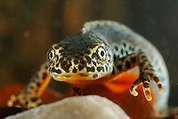 Close up of the head of a male Alpine Newt (Triturus alpestris).