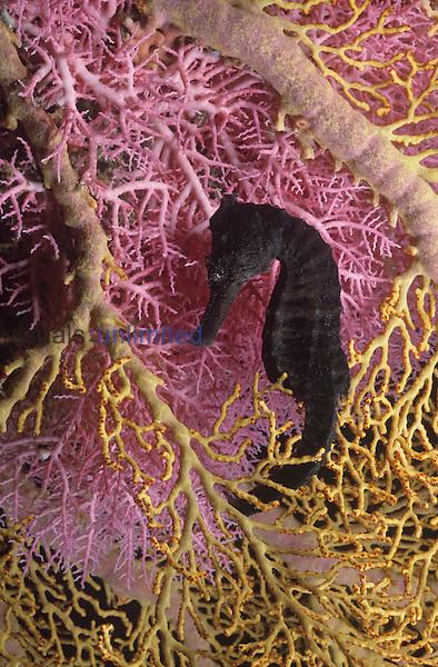 Seahorse ,Hippocampus kuda,.