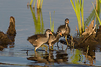 559500019 common gallinules gallinula galeata or common moorhens gallinula chloropus wild texas.Chicks in Pond.Anahuac National Wildlife Refuge, Texas