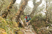 Woman tramper walking in fog through sub-alpine section of Routeburn Track with beech trees, Fiordland National Park, Southland, South Island, World Heritage Area, New Zealand MR