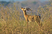 Impala ram sniffs the late afternoon air as he advances picking up the scent of nearby doe in Mana Pools.