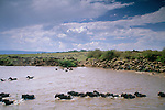 Wildebeest and zebra herds fording the Mara River, Masai Mara National Reserve, Kenya