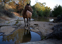 A wild horse perks up his ears to listen for danger at a  water hole at the Wild Horse Sanctuary where there are 300 horses on 5,000 acres that have been saved. Horses feel most vulnerable when they go to water.