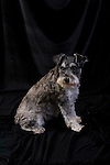 mini schnauzer<br />