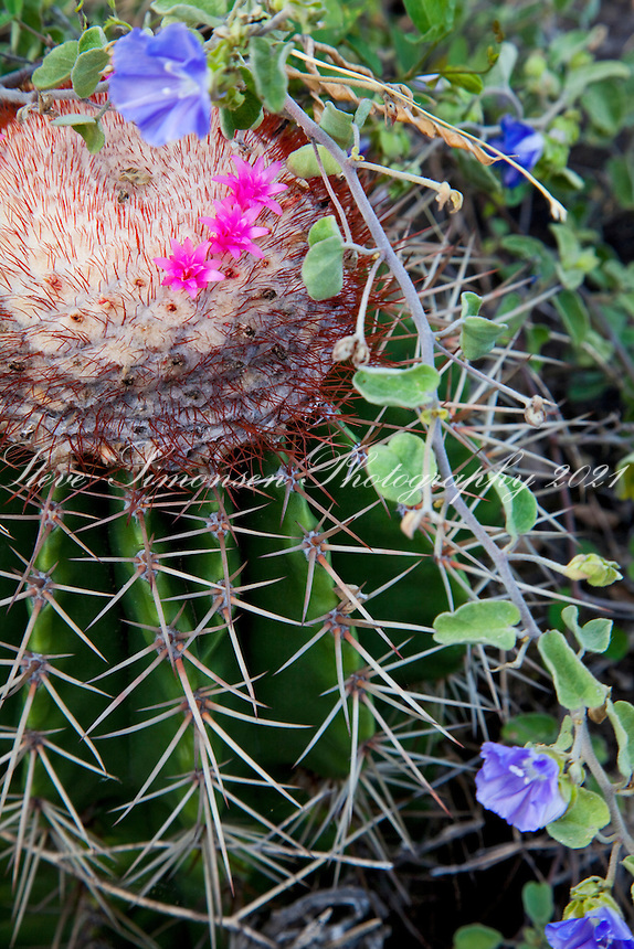 Turkshead Cactus along the.Tektite trail near Lameshur Bay.<br /> Virgin Islands National Park<br /> St John<br /> U.S. Virgin Islands