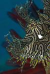 Lacey scorpionfish (Rhinopias aphanes) details