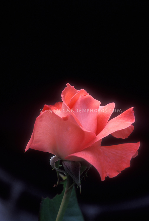 Rosa 'Touch of Class' salmon colored pink rose just opening against black background. Hybrid tea rose Synonym: Marechal le Clerc, Designation: KRIcarlo. Classically beautiful flower