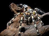 Sir Lankan Ornamental Tarantula (Poecilotheria fasciata), captive.