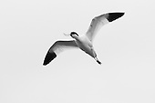 Pied avocet (Recurvirostra avosetta) in flight, protecting territory, from other birds in the area. The Avocet colonised Britain when coastal marshes in East Anglia were flooded to provide a defence against possible invasion by the Germans.