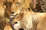 African lions -- male &amp; female -- cuddling together on a warm afternoon.