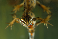 Close up of the head of a male Smooth Newt swimming underwater (Triturus vulgaris).