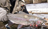 A fly fisherman poses with some steelhead rainbow trout on the Manistique River in Manistique Michigan a Lake Michigan tributary.
