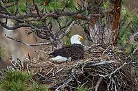 Bald Eagle Nest (Haliaeetus leucocephalus)--adult keeping ten to twelve day old eaglet warm in nest in tall ponderosa pine tree.  Oregon.  April.