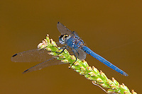 Navy Dropwing Dragonfly male perched (Trithemis furva), South Africa.