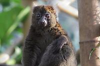 Greater bamboo lemur (Prolemur simus), in the Madagascar zone of the Great Glasshouse of the new Parc Zoologique de Paris or Zoo de Vincennes, (Zoological Gardens of Paris or Vincennes Zoo), which reopened April 2014, part of the Musee National d'Histoire Naturelle (National Museum of Natural History), 12th arrondissement, Paris, France. Picture taken November 2013 by Manuel Cohen