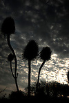 Thistles growing in the countryside silhouetted against the evening sky