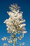 Vasquez Rocks, Agua Dulce, California; blooming white yucca cactus flowers against a deep blue sky