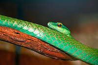 A short-nosed vine snake (Ahaetulla prasina) in Costa Rica.