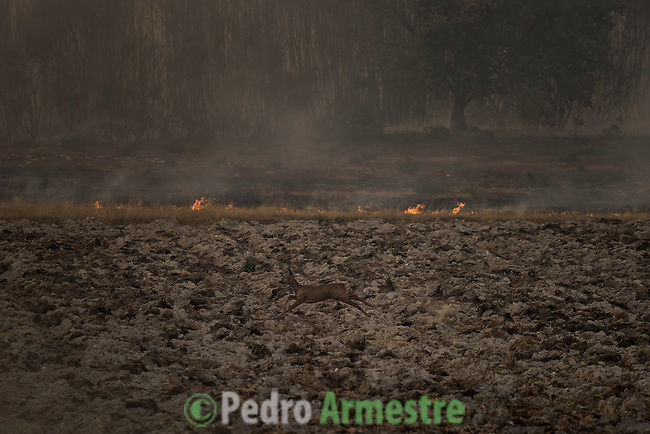 A roe deer runs across a field near the site of a wildfire in Gundín, in Cualedro, near Ourense on August 30. A fire broke out on August 30, 2015 around noon in the Cualedro town in Galicia, northwest Spain, affecting at least 3,180 hectares of forest, as seven fires continued to burn in Spain, three in Galicia, one in Cantabria, one in Castile and Leon, one in Catalonia and Extremadura. © Pedro ARMESTRE