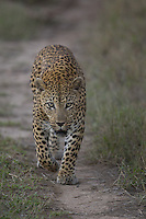Leopard, Mala Mala game reserve, South Africa