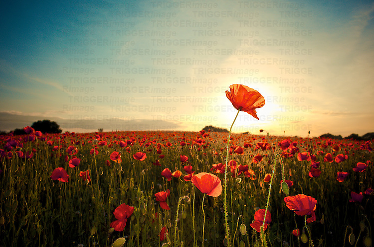 A field of red poppies and sunrise