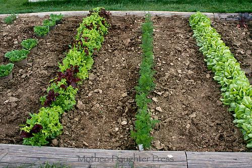 Lettuce varieties and carrots growing in generous rows in early summer vegetable garden.
