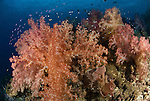 Soft Corals in adundance