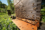 Honey Bee, Apis mellifera, Kent UK, bees swarming out of hive, spring, leaving hive, covering entrance, flying