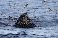 Humpback whale Megaptera novaeangliae bubble net feeding on Capelin and krill Spitzbergen Arctic Norway Kittywakes and Fulmars feeding alongside