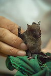 Fruit eating bat at the La Tirimbina Biological Reserve in Costa Rica