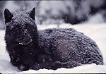 gray wolf resting in snowstorm