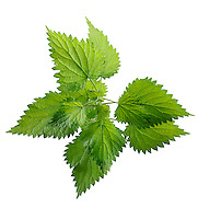 Stinging Nettle leaves against a white backgroung.