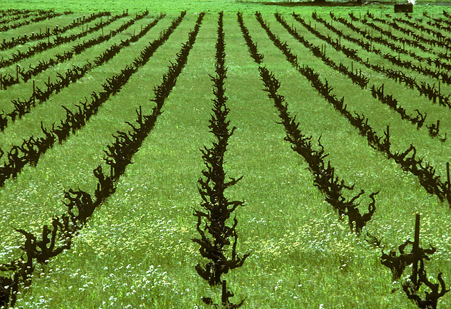 "Wide spaced and ""head-pruned"" vines line a vineyard in Napa Valley in 1978.  Since then vines are planted closer together."
