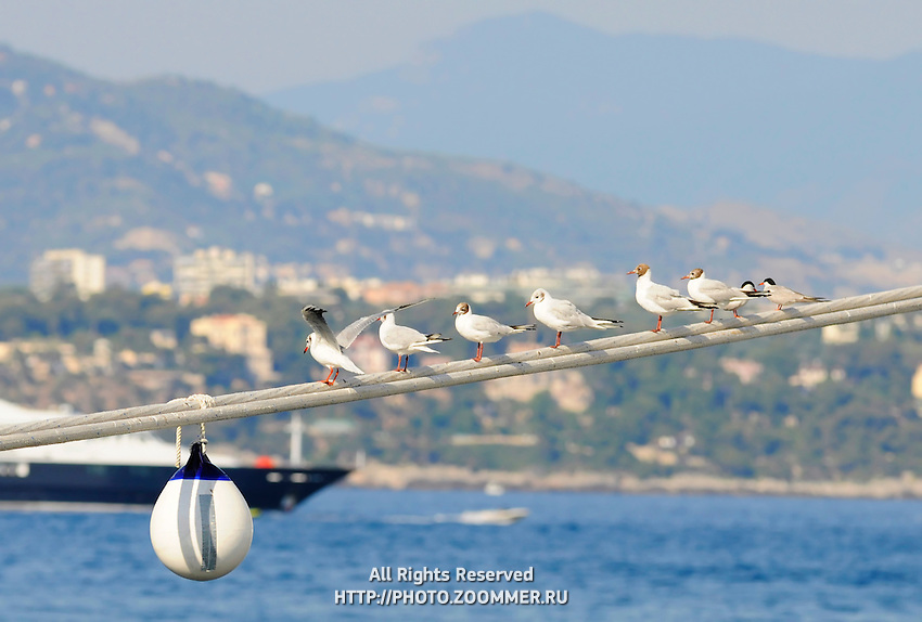 Seagulls Perched On Mooring Lines With Monaco Harbor in Background