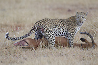 Leopard with an Impala kill, Okavango Delta, Botswana