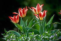 variegated tulips blooming in garden with blooming vinca rosa