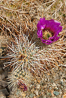 134190010 a wild engelmann hedgehog cactus echinocereus engelmannii puts forth huge purple wildflowers near eureka dunes california united states