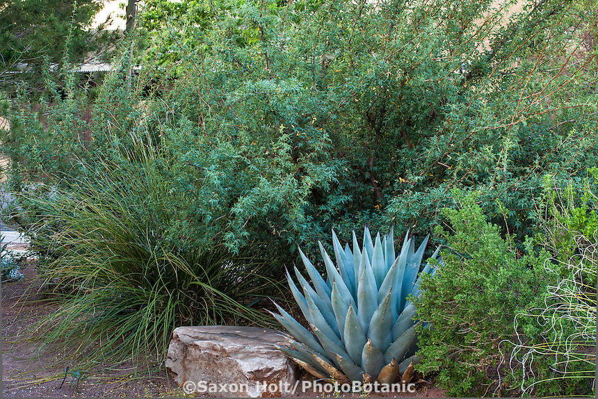 Silver foliage Maguey cactus (Agave) in drought tolerant mixed shrub border with Mahonia and Leucophyllum and Nolina; New Mexico garden, design by Judith Phillips