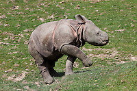 Indian Rhinoceros calf (Rhinoceros unicornis).