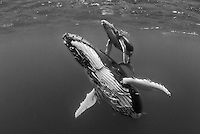 A mother and calf Humpback Whale, Megaptera novaeangliae, surface to breathe. Tonga, South Pacific Ocean