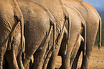 Elephants' rears, Loxodonta africana, in a row, Addo Elephant National park, Eastern Cape, South Africa