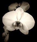 A beautiful orchid in sepia.